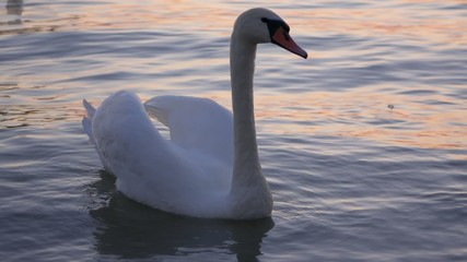 White swan is floating on the water of  Balaton after sunset