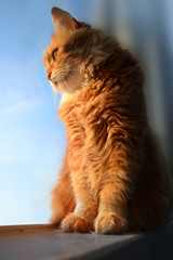 Fluffy red cat looking at the window