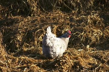 Huhn auf Stroh
