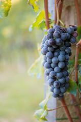 Grappolo uva rossa da vino