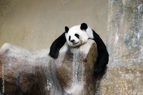 Deurstickers Panda panda bear resting