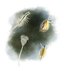 Common pond organisms