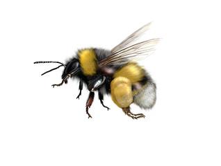 buff-tailed bumblebee or large earth bumblebee