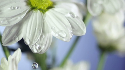 Blossom white flower under raindrops