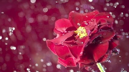 Blossom red flower under raindrops on green background