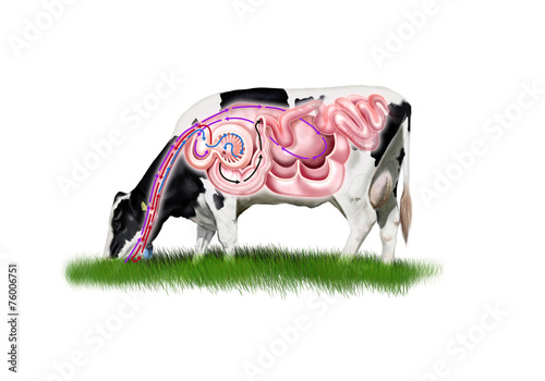Cow digestive system - 76006751