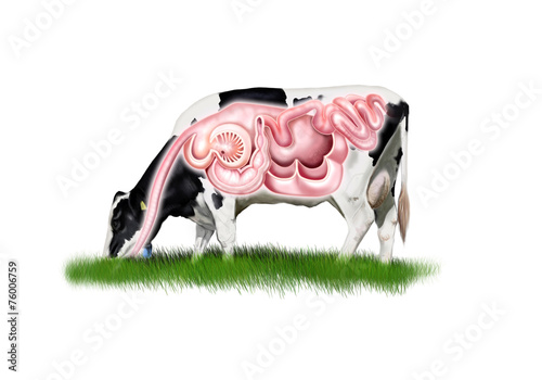 Leinwanddruck Bild Cow digestive system