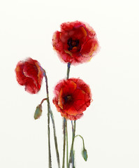 Red poppy flowers watercolor painting