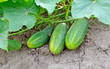 Growing cucumbers on branch