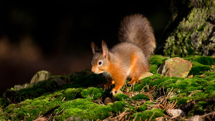 Red Squirrel on forest floor