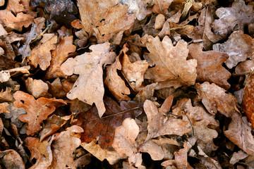 Deep pile of dead oak leaves