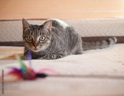 Papiers peints Chat Cat stalking his feather toy