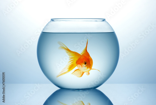 Fish bowl with gold fish - 76010591