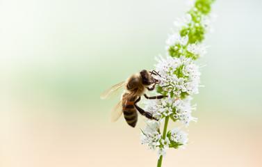 bee gather pollen on white flower of mint in garden