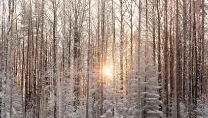 Winter forest with the sun in the background