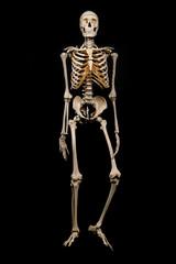 Skelett Freisteller