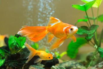 Few goldfishes swim in an aquarium.