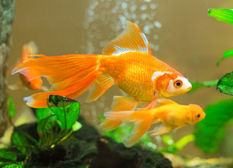 Few goldfishes swim in an aquarium.