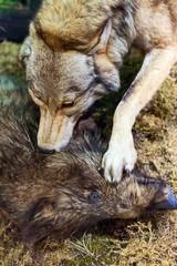 Wolf killing wild boar in the forest. Scenery.