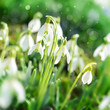 Der Frühling - Schneeglöckchen