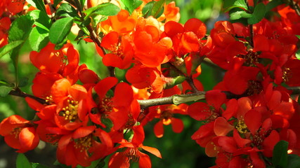 Quince. Red flowers. 4K.