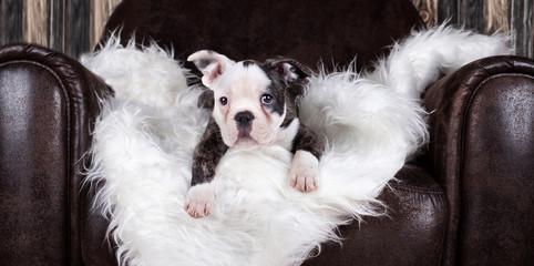 französische Bulldogge auf Ledersessel