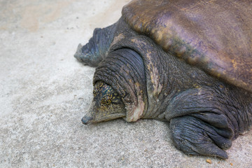 soft-shell turtles - Family: Trionychidae in front