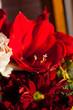 Amaryllis Red Pearl Hippeastrum - Blumenstrauß