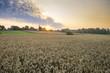 Pole dojżewającego zboża nieopodal zabudowań wiejskich