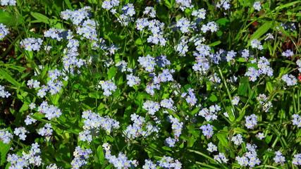 Forget-me-nots. Blue flowers. 4K.