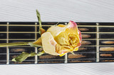 Wilted rose flower on guitar fretboard isolated poster