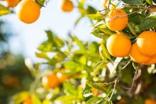 """Постер, картина, фотообои """"Valencia orange trees"""""""