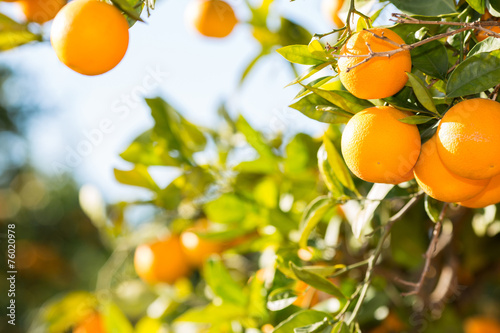 Papiers peints Fruit Valencia orange trees