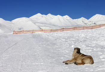 Dog resting on snow at nice sun day
