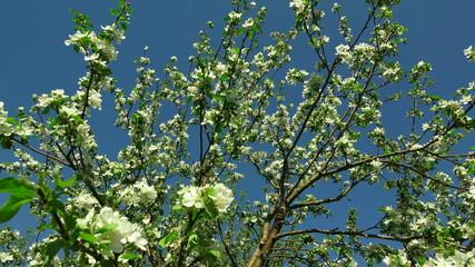 Apple blossom. 4K.