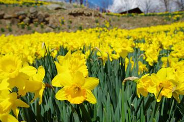 黄色の水仙の花畑