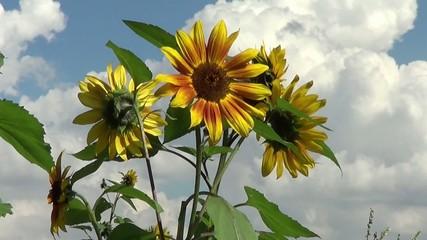 Sonnenblume vor Wolken Himmel
