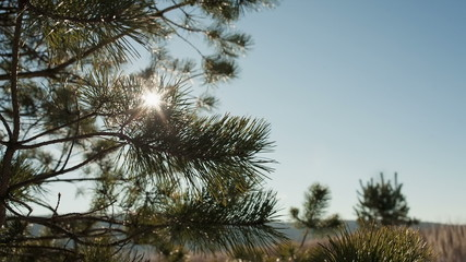 DOLLY MOTION: Close-up View of Spruce Branches with Golden Sun