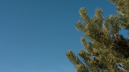 Conifer tree near seaside with copy space