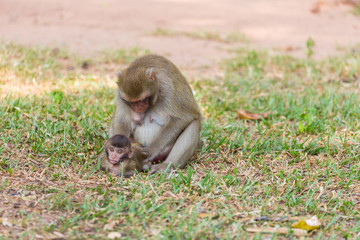 Mother monkey finding louse and cootie for baby monkey