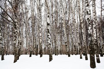 bare birch trunks in urban park