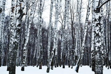 view of snowy birch forest in winter
