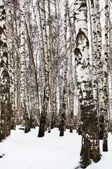bare tree trunks in birch grove