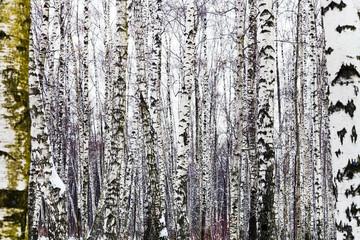 bare birch trees in winter