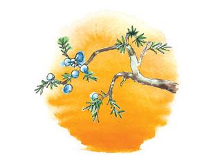 Branch of juniper tree against the sun, vector