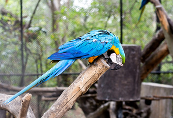 blue-and-yellow macaw (Ara ararauna) nibble log.
