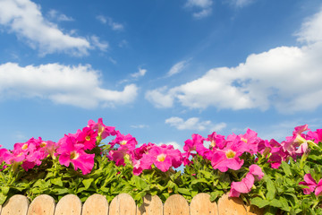 Pink petunia flower with cloud and sky