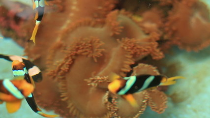 anemone fish and crown fish in farm