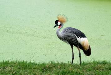 Grey Crowned Crane with green water background