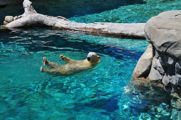Polar bear swimming in blue water